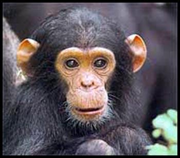 Koju životinju najviše volite Baby-chimpanzee-picture